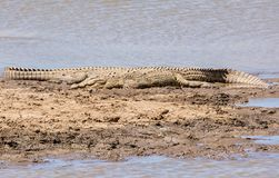 Nile Crocodiles. A pair of Nile Crocodiles resting on a riverbank in the Namibian savanna Royalty Free Stock Images