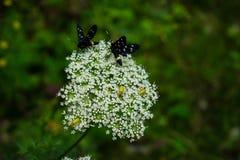 Two black moths on a white wildflower stock photos