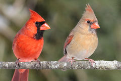 Pair of Northern Cardinals Royalty Free Stock Images