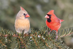 Pair of Northern Cardinals Royalty Free Stock Photo
