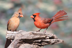 Pair of Northern Cardinals Stock Photos