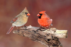 Pair of Northern Cardinals Royalty Free Stock Image