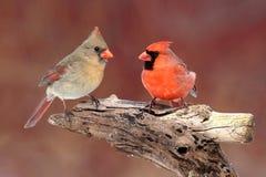 Pair of Northern Cardinals royalty free stock image