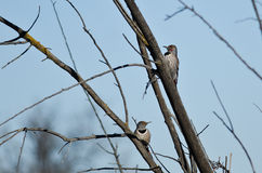 Pair of Northern Flickers Perched in a Tree Stock Image
