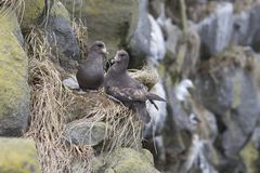 A pair of Northern fulmar sitting near a nest on the slope of a Royalty Free Stock Images