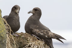 Pair northern fulmars dark morphs on the rocks Stock Image