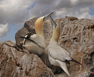A Pair of Northern Gannets. A male and a female Northern Gannet get together on the island of Bass Rock in the Firth of Forth, Scotland Stock Image