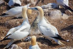 Pair of Northern gannets with offspring in Saltee Islands. Ireland.Gannets are seabirds comprising the genus Morus, in the family Sulidae, closely related to Royalty Free Stock Photos