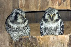 Pair of Northern Hawk Owls. A pair of Northern Hawk Owls (Surnia ulula) from northern Eurasia and America Royalty Free Stock Photography