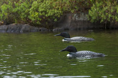Pair of Northern Loons Stock Photography