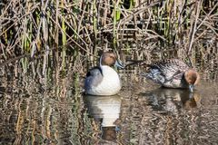 A pair of Northern Pintail resting on the shallow waters of a pond. A pair of Northern Pintail resting on the shallow waters of Sacramento National Wildlife stock photos