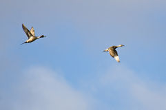 Northern-Pintails Flying Across a Cloudy Sky Stock Image