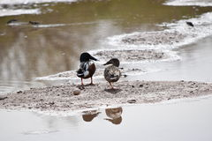 Pair of northern shoveler ducks stock photography