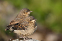 Dynamic duo. Pair of cute Juvenile Northern Wheatears Royalty Free Stock Photo