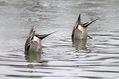 Synchronized Duck Butts. A pair of Nothern Pintails dabbling in unison in a pond Royalty Free Stock Photo