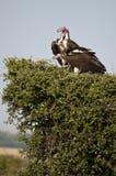 Pair of Nubian Vultures, Mara, Kenya Stock Photography