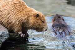 Pair of nutrias (Myocastor coypus aka beaver rats) sitting and swimming in water stock photos