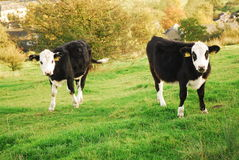 Pair o cows in a field. Two black and white cows in a field Stock Image