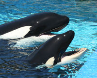 A Pair of Oceanarium Killer Whales Stock Photography