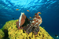 Pair of Octopus Royalty Free Stock Image