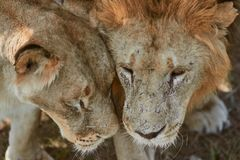 Free Pair Of Adult Lions Stock Photo - 160846040