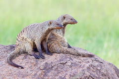 Free Pair Of Banded Mongooses On Lookout Stock Photography - 79974292