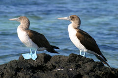 Pair Of Blue Footed Boobies Stock Photo