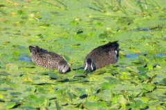 Pair Of Blue-winged Teal Stock Photos