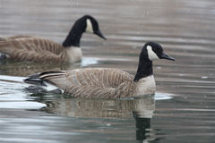 Pair Of Canada Geese Swimming On A River Amid Falling Snow Royalty Free Stock Photos