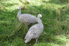 Pair Of Cape Barren Geese Stock Images