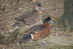 Pair Of Chestnut Teal, Anas Castanea Royalty Free Stock Image