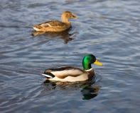 Free Pair Of Ducks Stock Image - 7054511