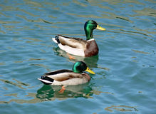 Free Pair Of Ducks Royalty Free Stock Photography - 733317