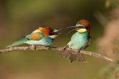 Pair Of European Bee-eaters, Merops Apiaster Figahting. Stock Photography
