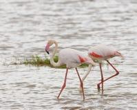 Pair Of Flamingo`s Stock Photos