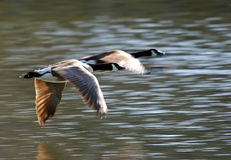 Free Pair Of Flying Geese Royalty Free Stock Photography - 1472427