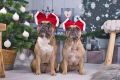 Free Pair Of French Bulldog Dogs Dressed Up With Festive Red Ribbons On Heads Sitting Between Christmas Tree With Baubles And Gift Boxe Royalty Free Stock Photo - 203830265