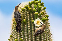 Pair Of Gila Woodpeckers Stock Images