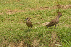Pair Of Hamerkops In The Wilderness Royalty Free Stock Photo