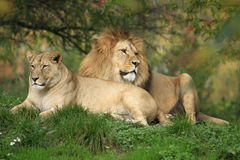 Pair Of Lion Royalty Free Stock Photo