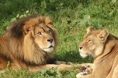 Pair Of Lions Feeding Royalty Free Stock Photo