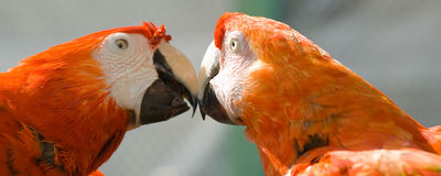 Pair Of Macaws Stock Photography
