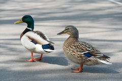 Pair Of Mallard Ducks Crossing Road Closeup Stock Photos