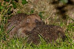 Pair Of Mating European Hedgehogs Royalty Free Stock Photos