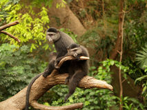 Pair Of Monkeys Stock Images