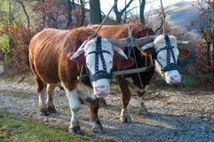 Pair Of Oxen Stock Photography