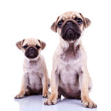 Pair Of Pug Puppy Dogs Sitting On White Royalty Free Stock Images