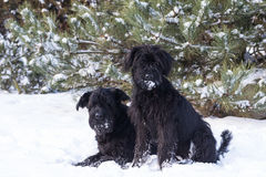 Pair Of Schnauzer Dog On Snow Royalty Free Stock Photo