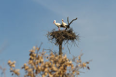 Free Pair Of Storks In The Nest Royalty Free Stock Photo - 43736365