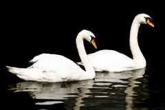 Free Pair Of Swans On Black Background Stock Photography - 41403222